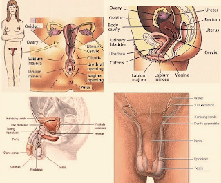 Male erect penis pictures